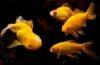 Nằm mơ thấy cá vàng đánh con gì? Điềm báo lành hay dữ?
