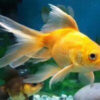 Nằm mơ thấy cá vàng đánh con gì? Ý nghĩa giấc mơ cá vàng?
