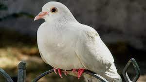 Mơ thấy chim bồ câu