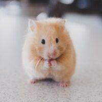 Nằm mơ thấy chuột đánh con gì – Chiêm bao thấy chuột là điềm báo gì?