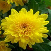 Nằm mơ thấy hoa cúc đánh đề số nào tài lộc? Ý nghĩa giấc mơ hoa cúc